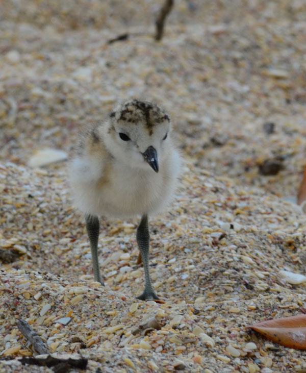 dotterel-chick