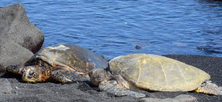 Turtles on Punalu'u beach