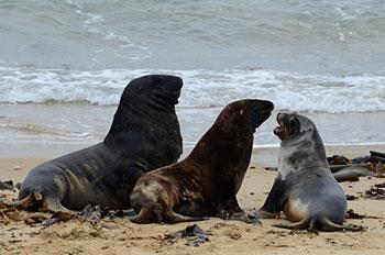 sea-lions-1